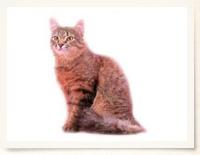 zukan_cat_bodytype_img06.jpg